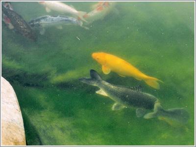 fisk i vandet kan ikke få den op og stå
